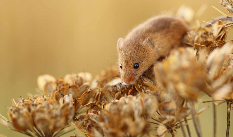 myszka, фона, животными, веселые, животные, разнообразные, красивых, подборке, картинок, формата, широкого, suche, mysz, rar, интересных, kwiatki,