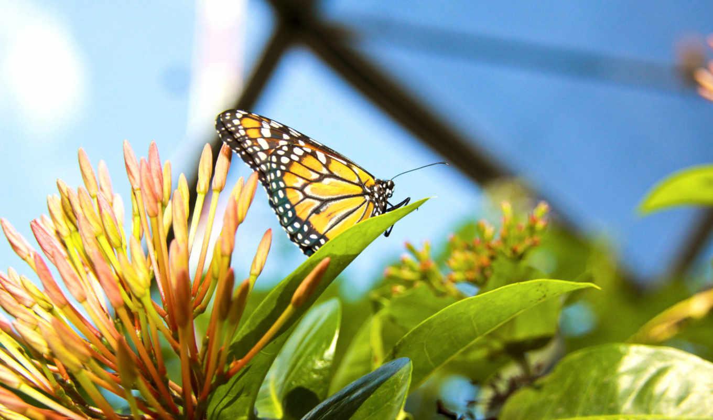 бабочка, растение, цветок, насекомое, рисунки, фотографии,