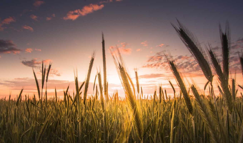 поле, пшеница, макро, behind, колосья, hdtv, für, zwei, рожь,