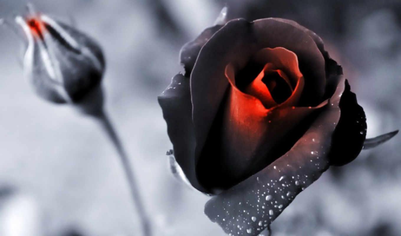 розы, цветы, бутон, красный, снег,