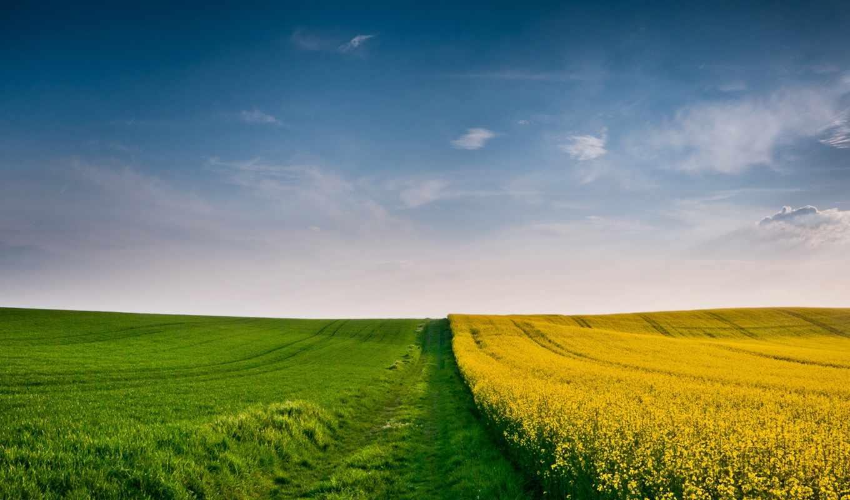pole, пшеница, поля, колосья,
