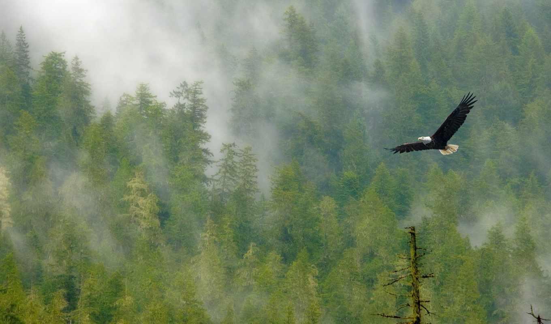 орла, полет, со, птицы, орлан, лесом,