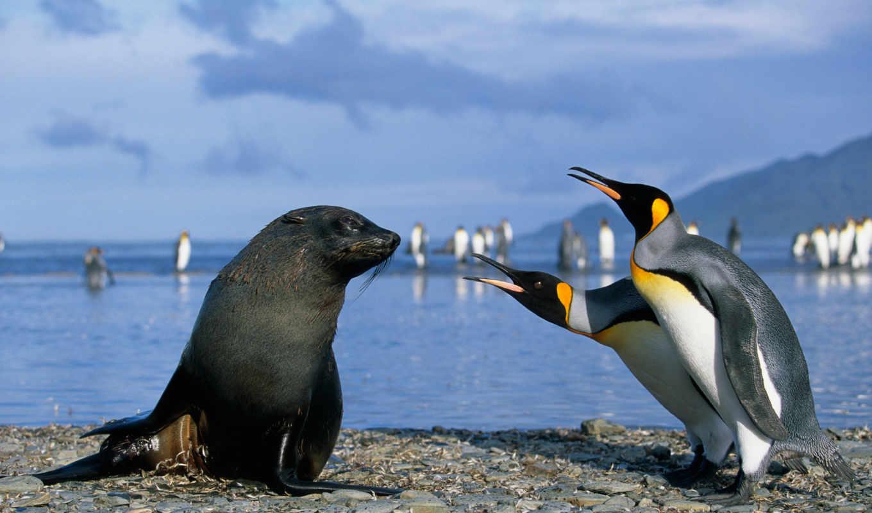 морские, пингвины, котики, пингвинов,
