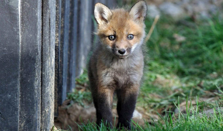 фокс, лисенок, собака, животных, vulpes, summer, renard,