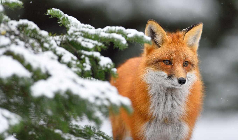 фокс, winter, зимние, новогодние, рыжая, снег, zhivotnye, лиса,
