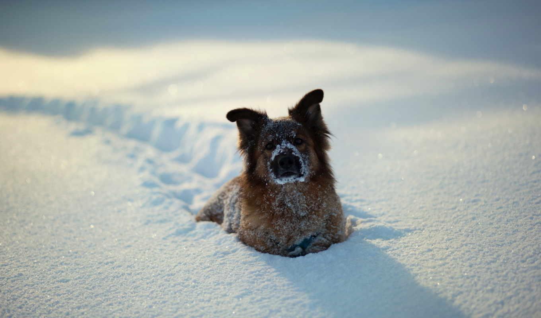 собака, снег, зима, собаки, снегу, животные,