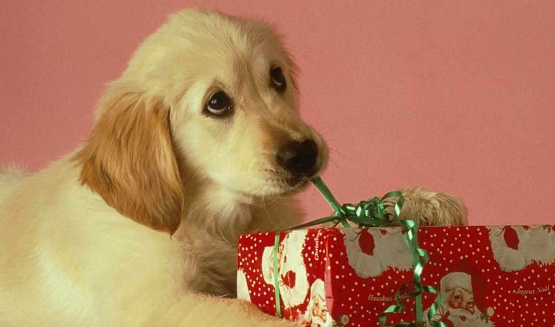 подарок, christmas, iphone, dog, щенок, download, geschenk, desktop, чтобы, разрешением, когда, годом, раскрывает, лабрадор, новым, взгляд, einem, mit, לכלב, picture, nội, его, от, von,