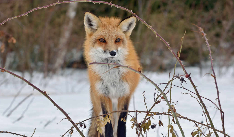 fox, snow, лиса,зима,лес,