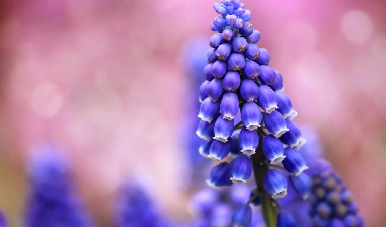 цветы, размытость, самые, синие,