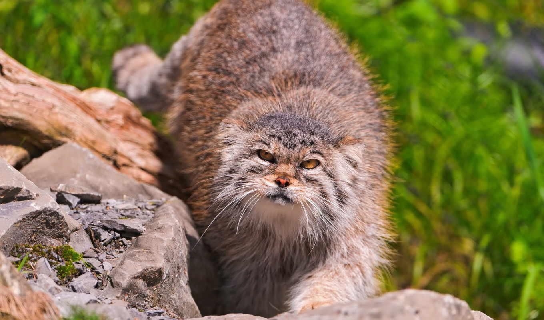 манул, кот, wild, пушистый, яndex,