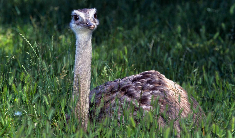 картинку, птицы, животные, images, размере, животными, забавные, animals, baby, просмотреть, реальном, траве, отдыхает, страус, страуса,