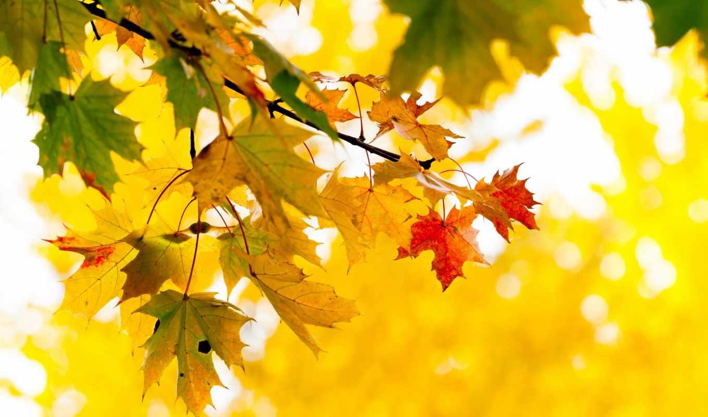 листья, осень, желтые, дерево, клен, ветка, природа,