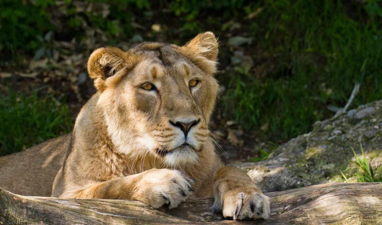 лев, кошка,животные,львица,