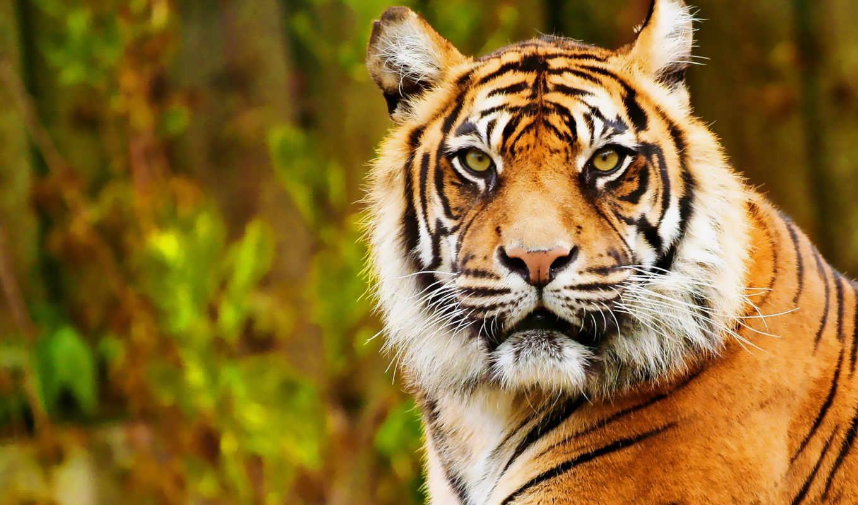 тигр, zhivotnye, grafika, devushki, abstrakciya, автомобили, дизайне, игры,