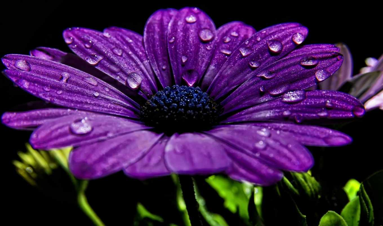purple, цветы, лепестки, макро,