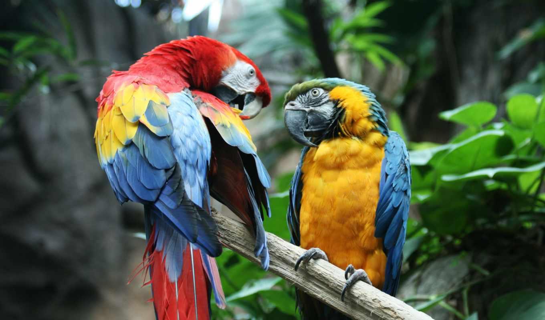 macaw,попугай, птицы, Гиацинтовые, ара