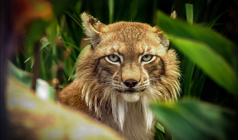 bobcat, рысь, free, high, desktop, id, фон,