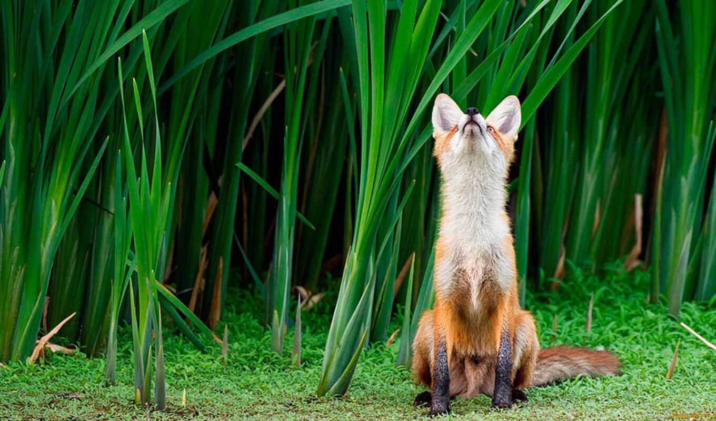 лиса, красивые, мир, животных, nevseoboi, качественные,