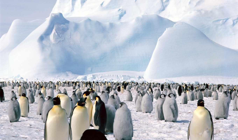 пингвины, площадь, zhivotnye, piazza, императорские, пингвинов,