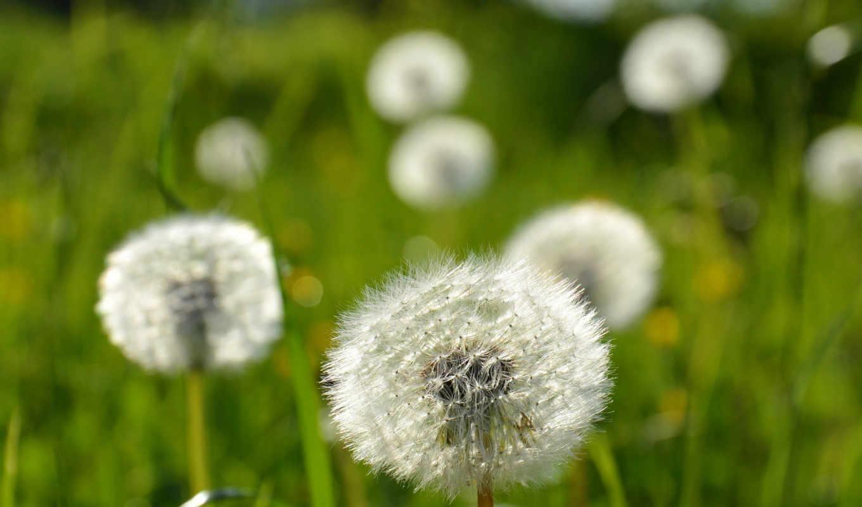 природа, цветы, mix, одуванчики,