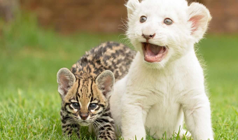 lion, кот, кошки, котята, детёныш, тигра, дикая, белого, детеныши, оцелот,