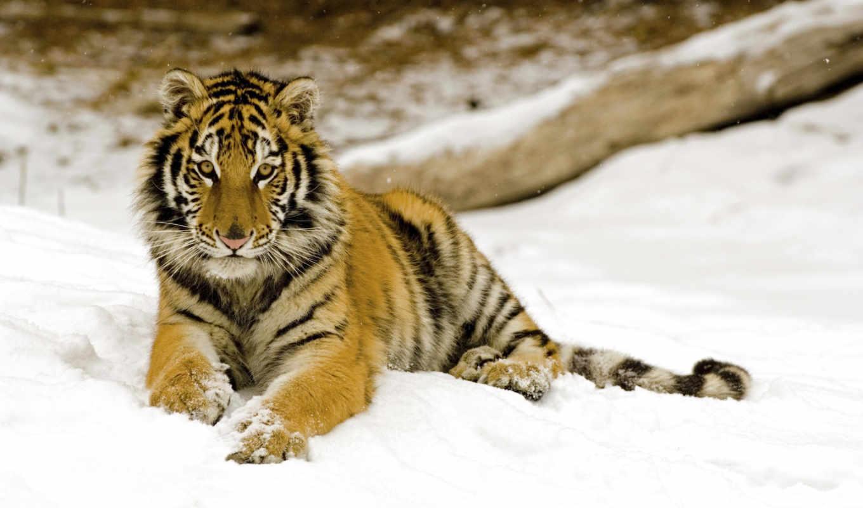 фотографий, самых, тигр, уссурийский,