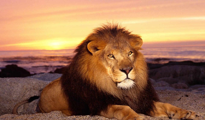 телефон, картинку, lion, хищник, львы, грива, king, зверей,
