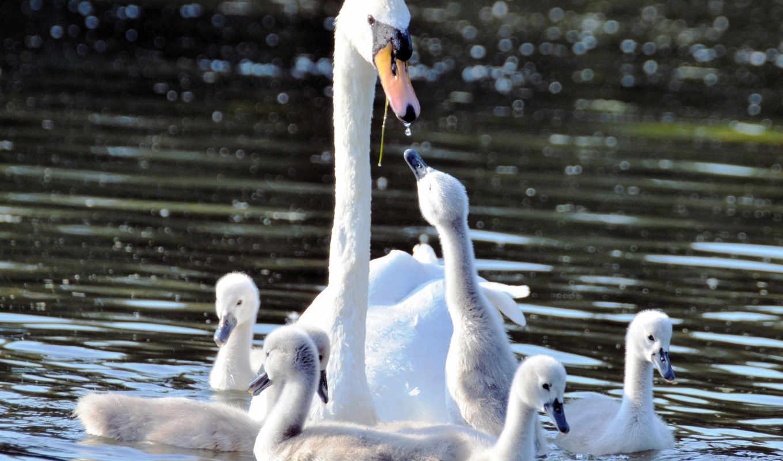 water, photos, pulpit, animals, baby, cisnes, fondos, flickr,