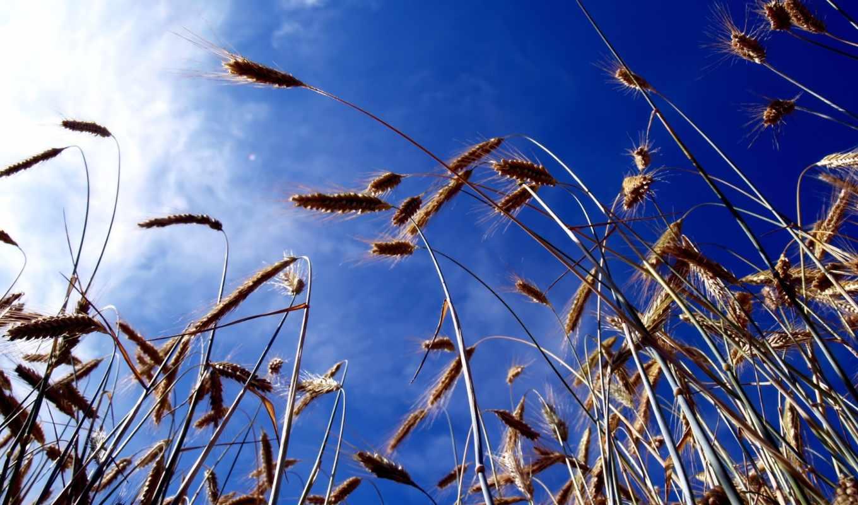 колосья, небо, oblaka, пшеницы,