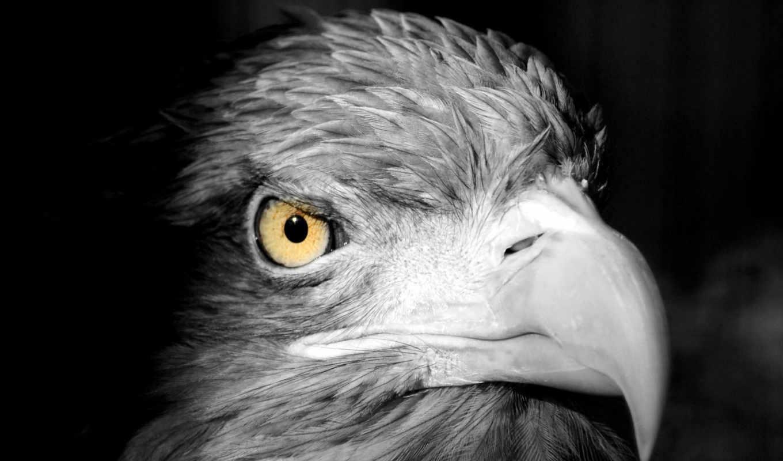 птица, клюв, голова, картинка, black, орлан, перья, хищник,
