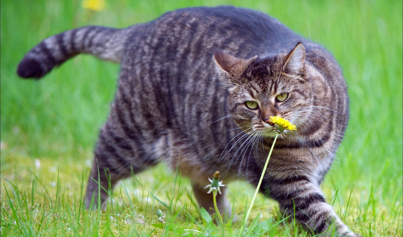 video, кот, yellow, траве, зеленой, густой, going, нюхает, жирный, одуваник,