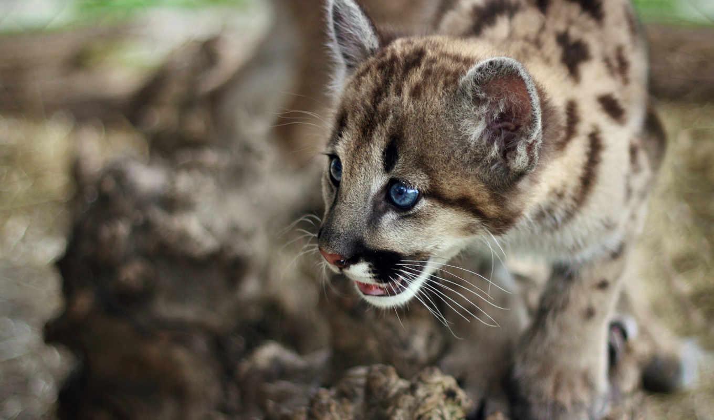 кошки, кошачьих, хищники, семья, jaguar, янв, наши, они, котенок,