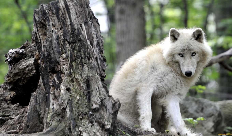 волк, canis, lupus, tundrarum, tundra,