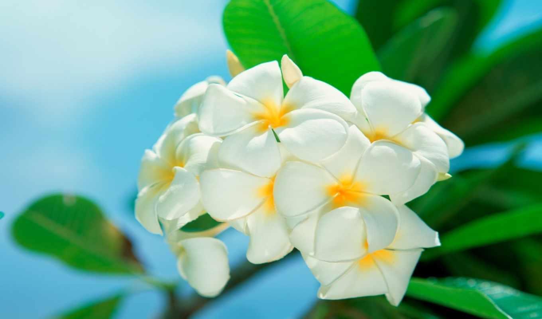 цветы, белые, красивые,