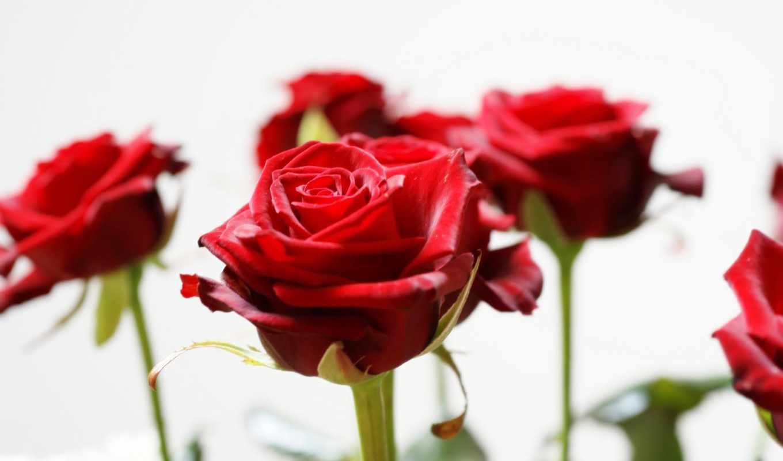 facebook, valentine, rosas, vermelhas, love,