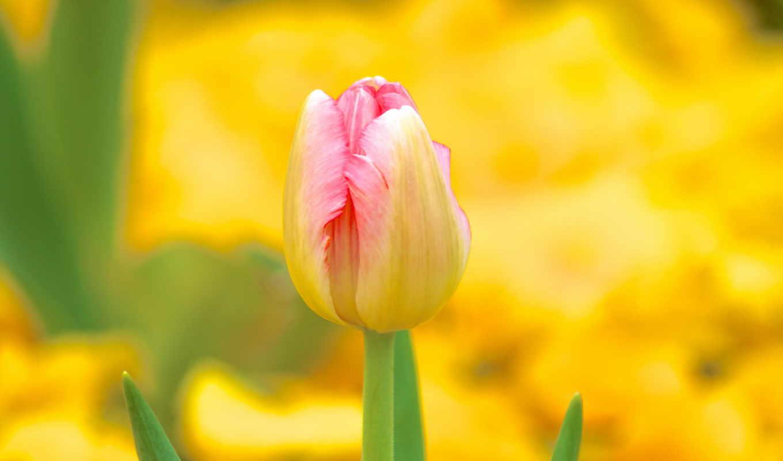 тюльпан, you, цветы, bokeh, don, desktop, lord,