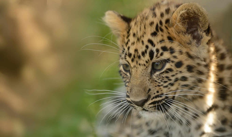 леопард, amur, фон,