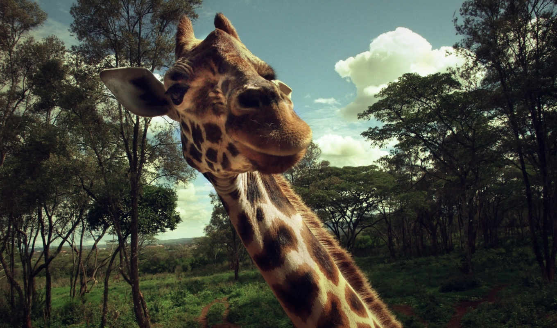 жираф, жирафы, животные,