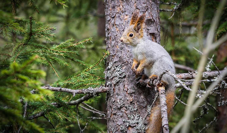 белки, zhivotnye, белки, дерева, дерево, дереве,