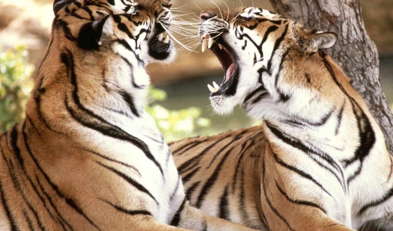 тигр, тигров, love, тигры, покажите, любви, мне, тигрица,