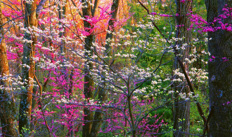 ,, дерево, цветок, завод, розовый, природная среда, весна, лес, ботаника, пурпурный, древесные растения,