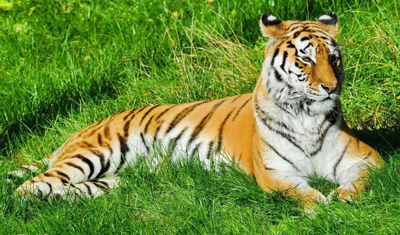 тигр, отдых, траве, полоски, морда, лежит, усы, картинка, животные, картинку,