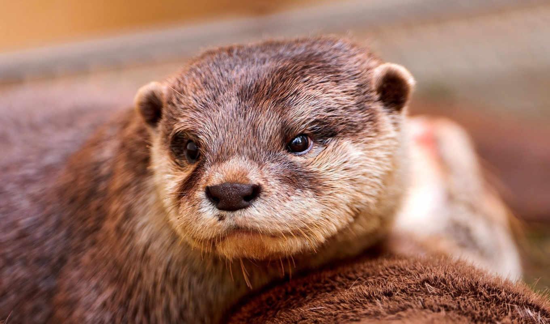 otter, морда, взгляд, зверек, browse,