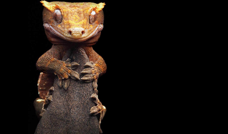 gecko, бананоед, кустарниках, fantastic, под, листьях, живет, опавших, подстилке, геккона, лес,