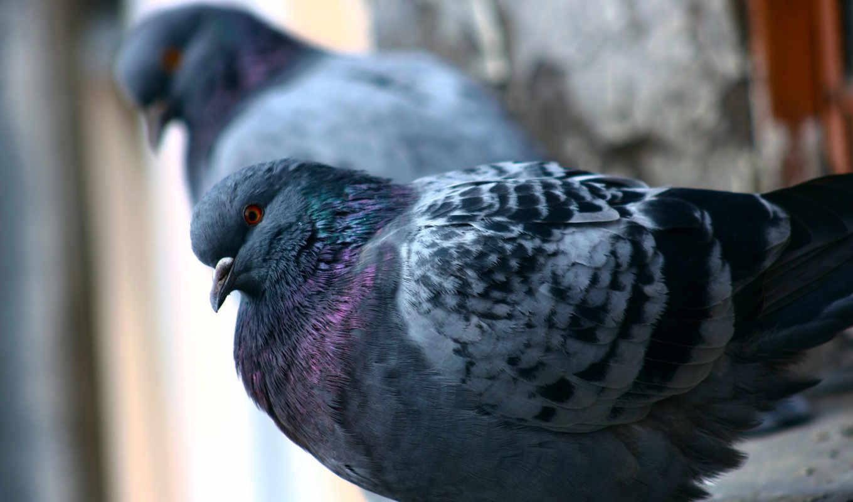 голуби, категории, осень, телефон, город, animals, животные, categories,