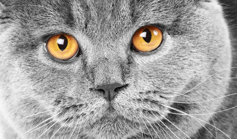 кот, серый, британец, british, морда,