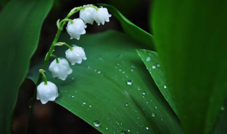 lily, роса, ландыши, капли, листья, цветы, зеленые,