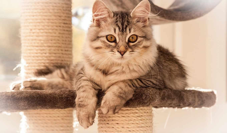 взгляд, кошка, лежит, сепия, картинку, картинка, кошек, пород, выставке, представили, самых, мыши, выставка, кнопкой, разнообразных, киеве, прошла, животные,