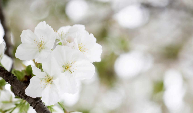 vesna, яблоня, цветение, ветка, krasota, просмотреть, дерево,