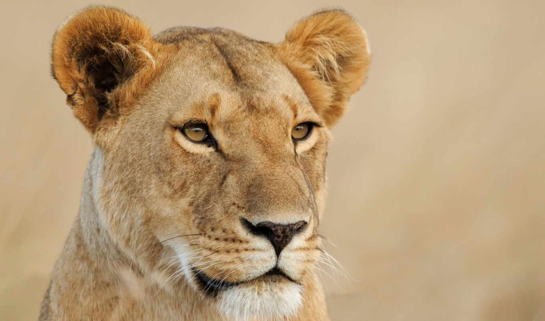 lions, женский, серьги, pride, дата, birth, gender, adult, tears, age,